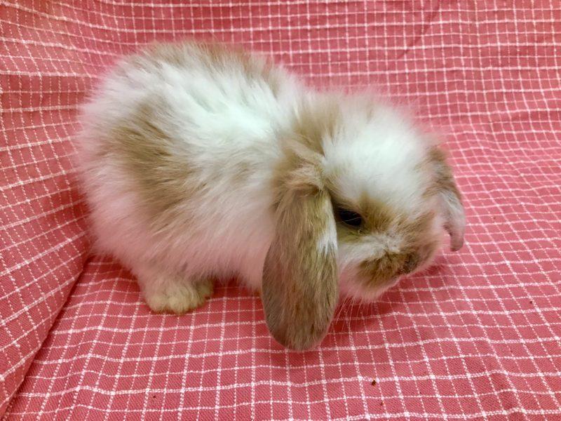 ウサギ(アメリカンファジーロップ)