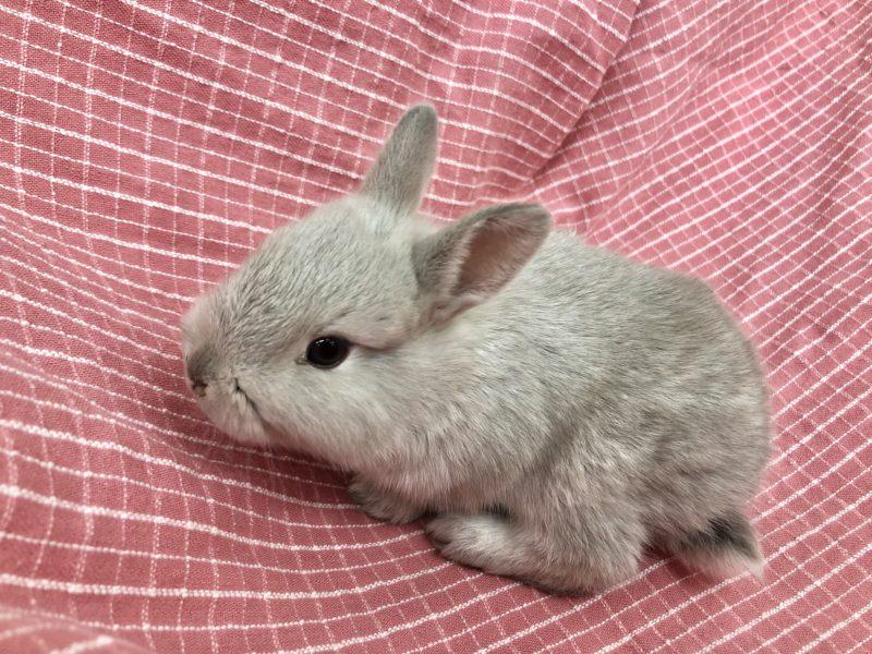 ウサギ(ミニウサギ)