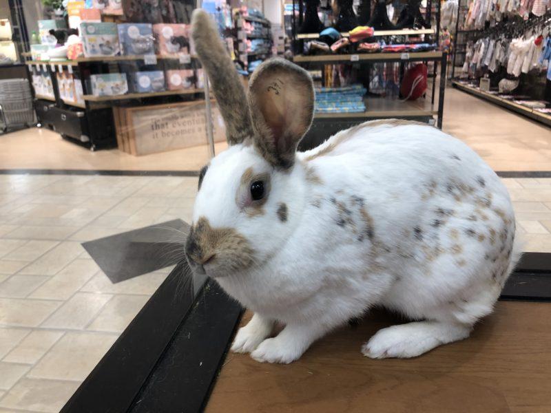 ウサギ(ラインランダー)