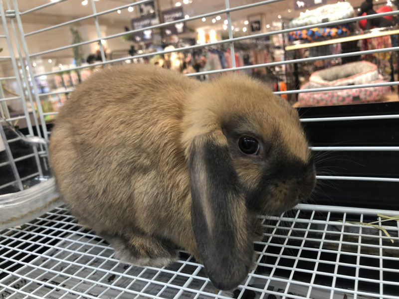 ウサギ(ドワーフロップ)